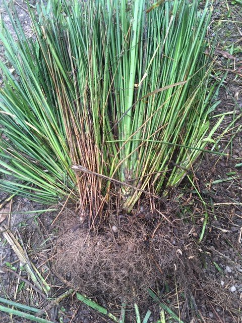 The roots of these reeds were matted and overgrown, reducing efficiency